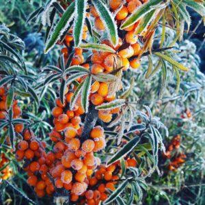 Šaltalankis, šaltalankiai, saldainiai, sveiki produktai, ekologiški produktai, ekologiškas maistas